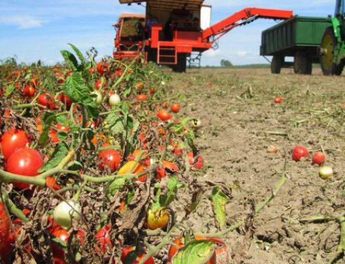 Nuova gamma di Pomodoro da Industria