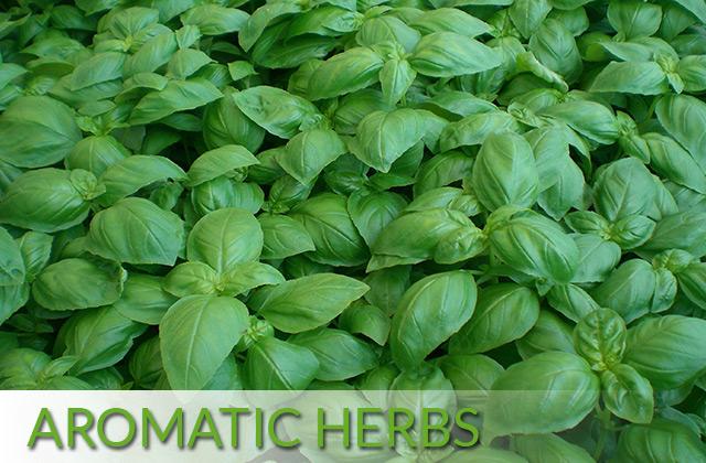 Aromatic Herbs