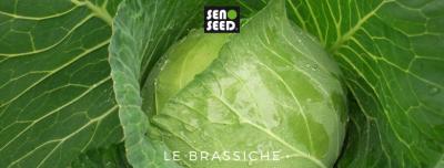 brassiche - seno seed