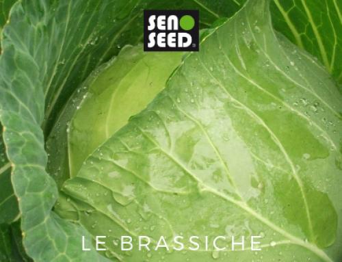 Le brassiche di Seno Seed