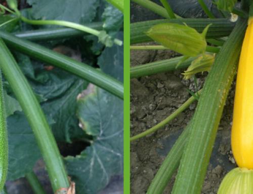 Zucchino Seno Seed: diversificare è la scelta vincente